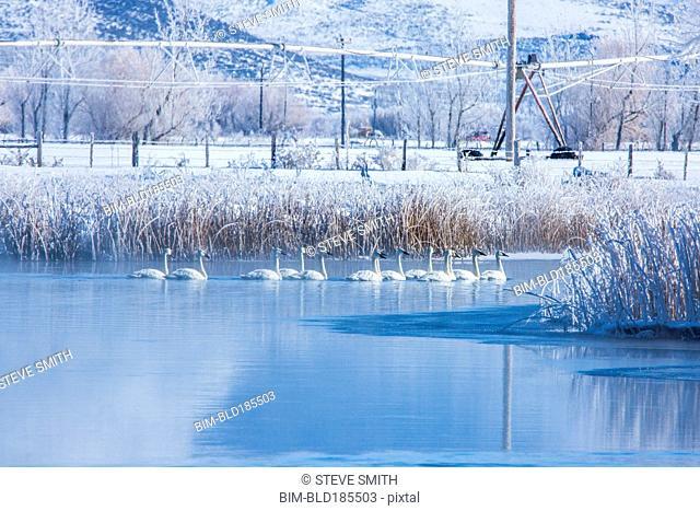 Swans swimming in snowy rural lake