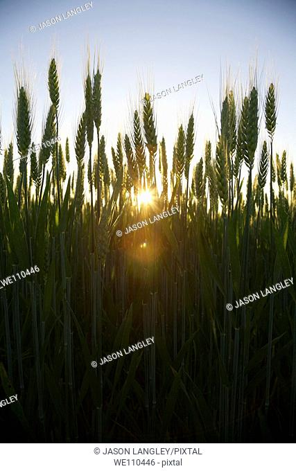 Low-Angle view of Rye growing on a small organic farm in rural France in late spring  Backlit by the setting sun  La Creuse, Limousin, France