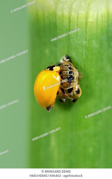 France, Territoire de Belfort, Belfort, garden, Asian lady beetle (Harmonia axyridis), adult emergence