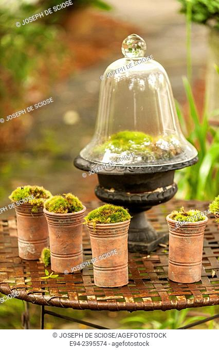 Moss growing in a cloche and in small pots on a metal table in a garden.Georgia USA