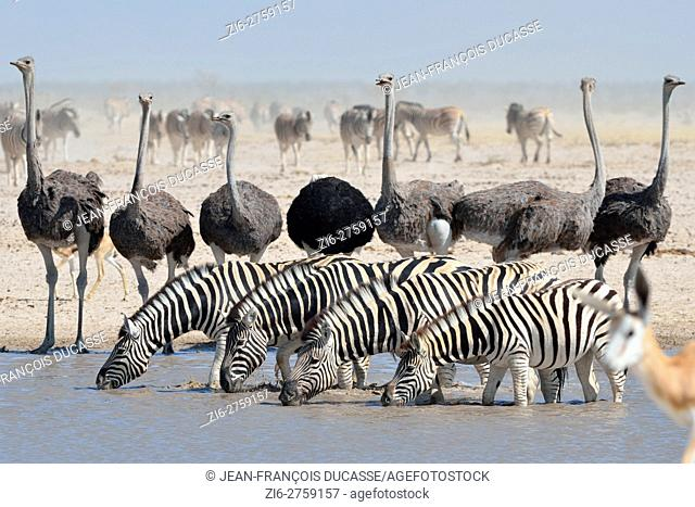 Burchell's zebras (Equus quagga burchellii) drinking and common ostriches (Struthio camelus), at a waterhole, springbok (Antidorcas marsupialis) in the...