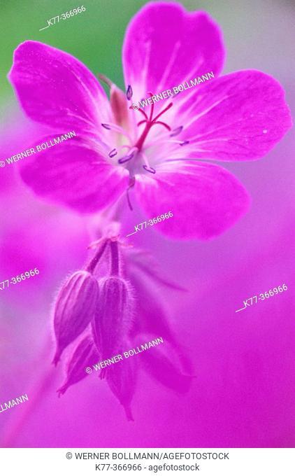 Woodland Cranesbill (Geranium sylvaticum). Sweden