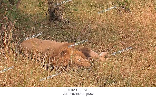 A lion lies in the grass, moves its mouth slightly and breathes quickly, as the grass is blown by the wind