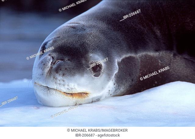 Leopard Seal, Hydrurga leptonyx, Verdnadsky Station, Antarctica