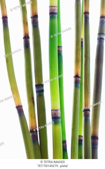 Studio shot of bamboo stalks