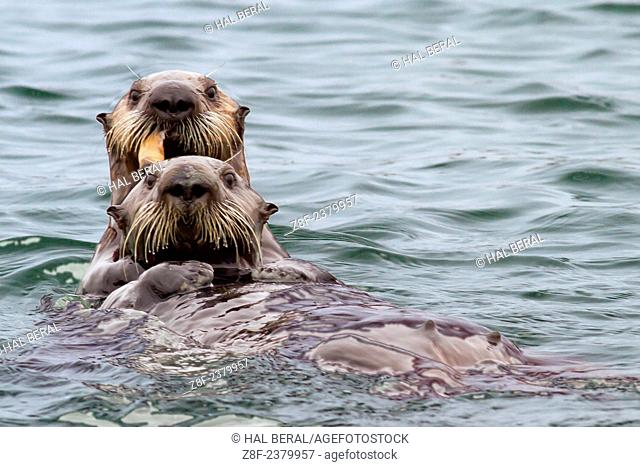 Southern Sea Otter mother floats on her back while her pup eats a clam