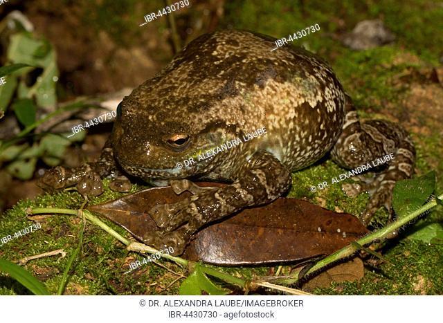 Cophyla grandis frog (platypelis grandis) on moss in rainforest of Montagne d'Ambre, Northern Madagascar, Madagascar