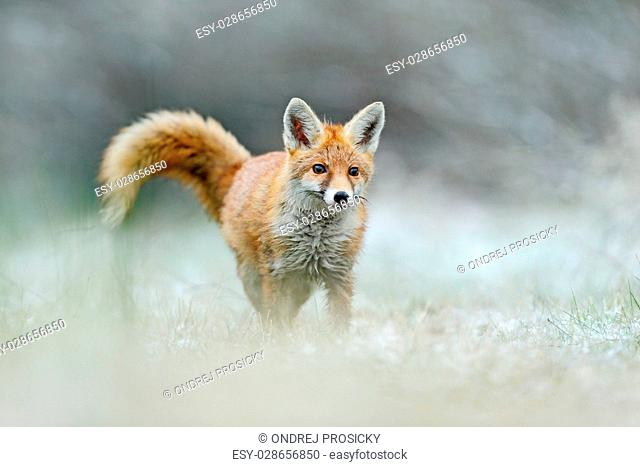Hunting Red Fox in snow winter