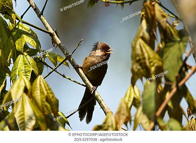 Rusty-fronted barwing, Actinodura egertoni, Eastern Himalayan Birds, Lava, India