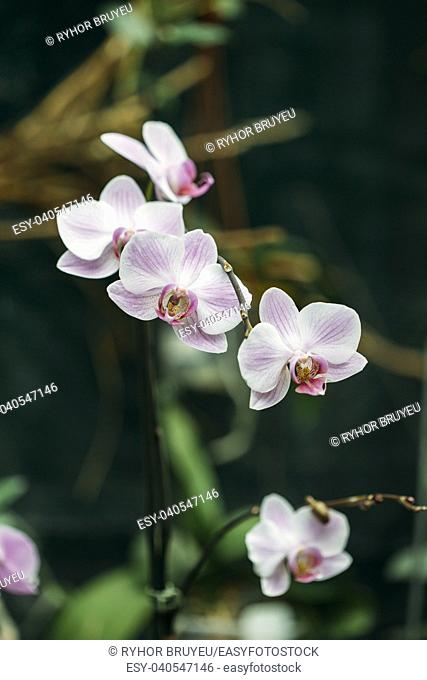 Beautiful White Flowers Of Orchid In Botanical Garden