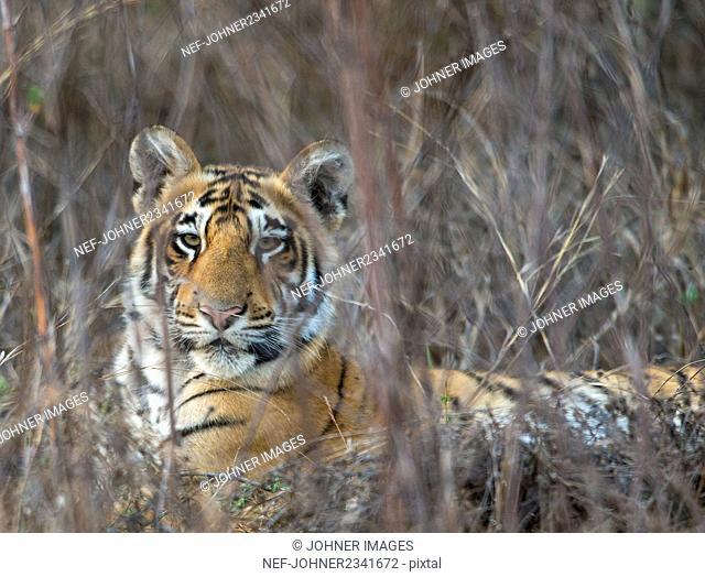Tiger looking at camera