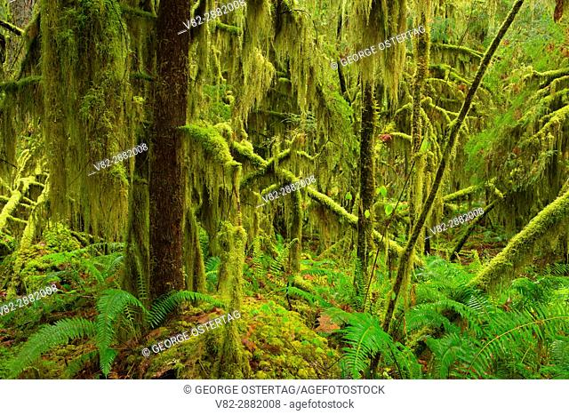 Ancient forest along Delta Nature Trail, Willamette National Forest, Oregon