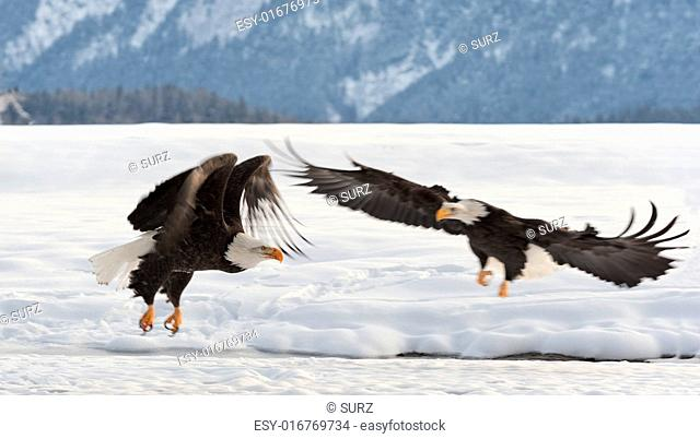 Two Bald Egles (HALIAEETUS LEUCOCEPHALUS) fly up from snow