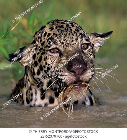Panthera onca. Young jaguar playing in the water. French Guiana