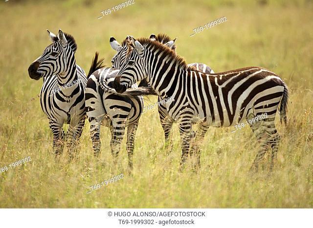Great migration in Serengeti. Three Grévy's zebra. Equus zebra