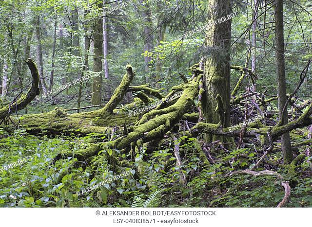Oak tree broken branches lying over ground almost completly moss covered, Bialowieza Forest, Poland, Europe