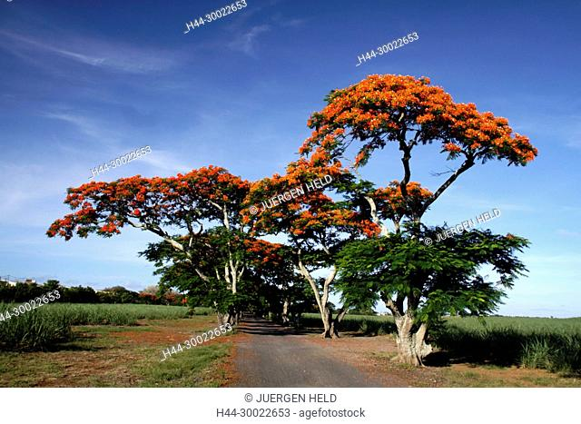 Flame Tree, Flamboyant, Royal Poinciana,lonely street, nobody, Mauritius, Africa