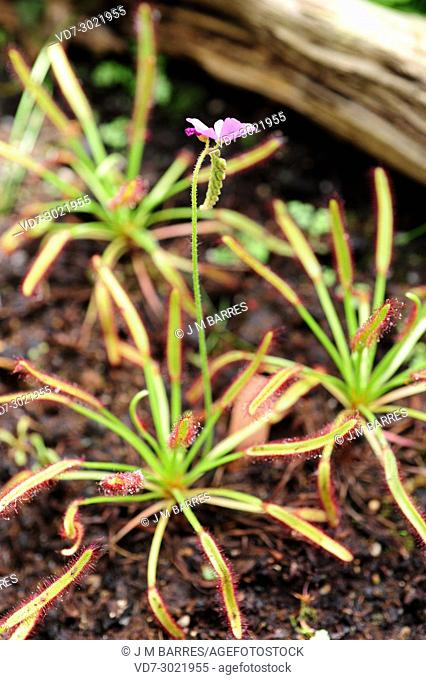 Cape sundew (Drosera capensis) Is a carnivorous plant native to the Cape, South Africa. Inflorescence and leaves detail