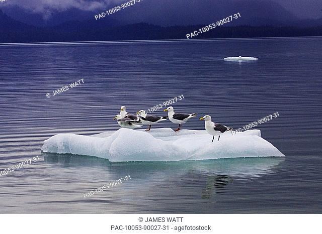 Alaska, Le Conte Glacier, sea gulls perch on a small iceberg