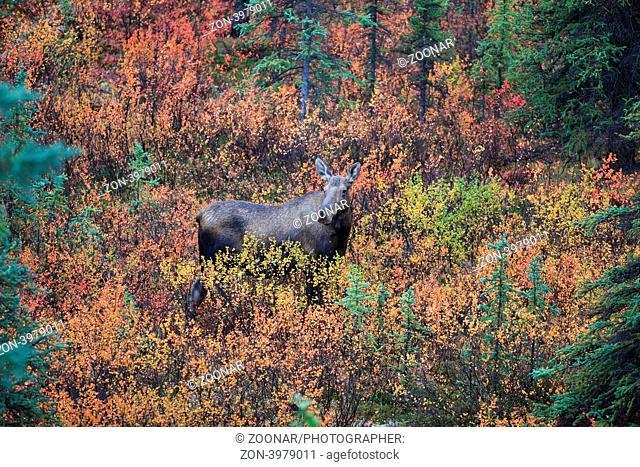 Elch Denali NP Alaska