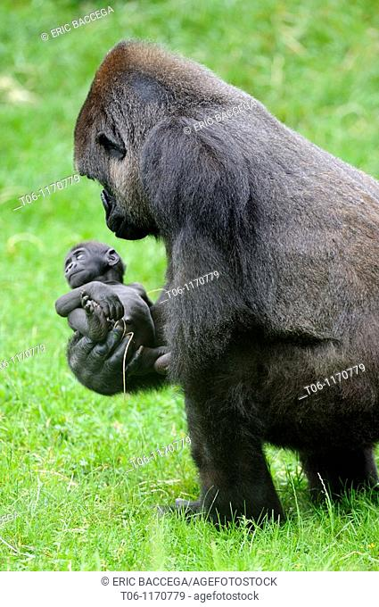 Western lowland gorilla Gorilla gorilla gorilla Mother with baby, captive, Endangered