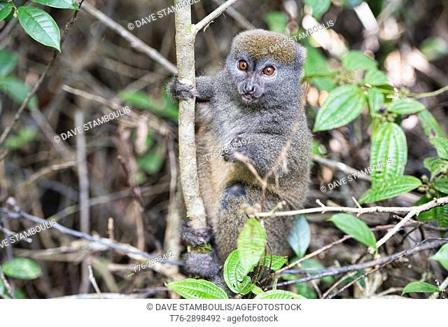 Eastern grey bamboo lemur, Ranomafana National Park, Madagascar