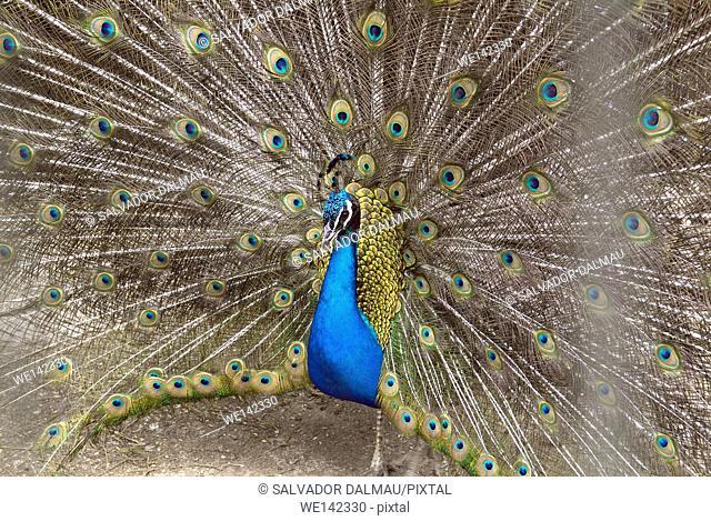 peacock image, farm population manresa,barcelona,catalonia,spain,europe,