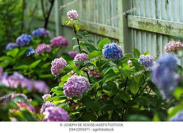 Hydrangeas in full bloom in front of a fence in a garden. Georgia USA