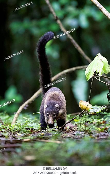 White-nosed coati, Nasua narica, Alimentation in the rainforest, Osa peninsula, Costa Rica