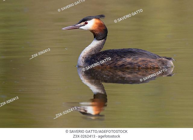Great Crested Grebe (Podiceps cristatus), side view of an adult swimming in the water