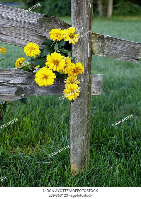 Fence flowers. Amherst, Massachusetts. USA