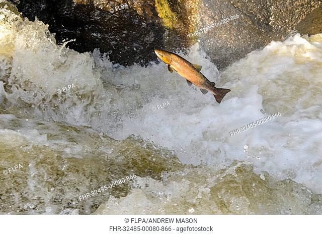 Atlantic Salmon (Salmo salar) adult, leaping up waterfall, moving upstream to spawning ground, Buchanty Spout, River Almond, Perth and Kinross, Scotland