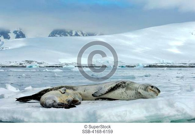 ANTARCTICA, ANTARCTIC PENINSULA, PLENEAU ISLAND, LEOPARD SEAL WITH BABY ON ICEFLOE