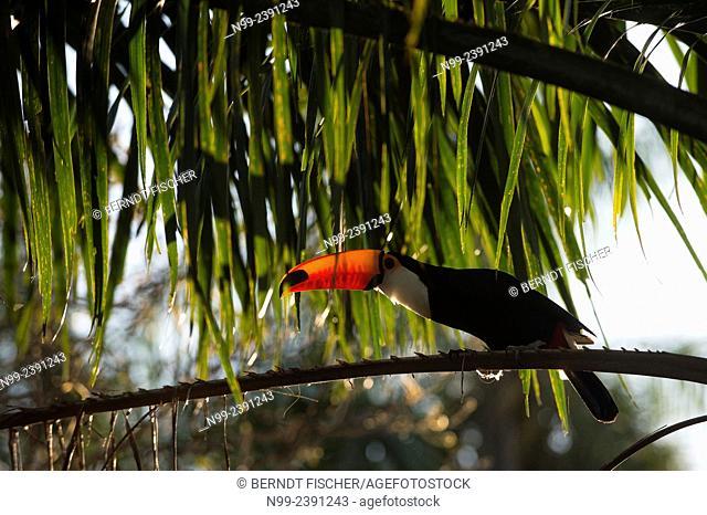 Toso toucan (Ramphastos toco), sitting in palm tree, Mato Grosso do Sul, Brazil