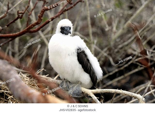 Red Footed Booby,Sula sula,Galapagos Islands,Ecuador,young bird,at nest,on tree