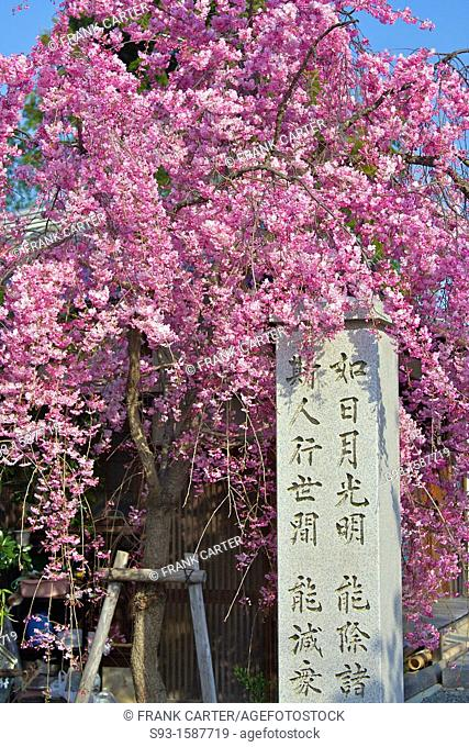 Cherry blossom trees in full bloom hanging over a stone pillar inscribed with kanji