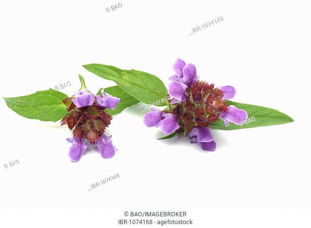 Common Selfheal (Prunella vulgaris), medicinal plant