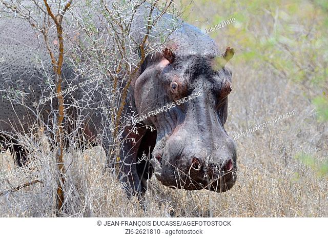Hippopotamus (Hippopotamus amphibius), adult male sweating, in dry grass, Kruger National Park, South Africa, Africa