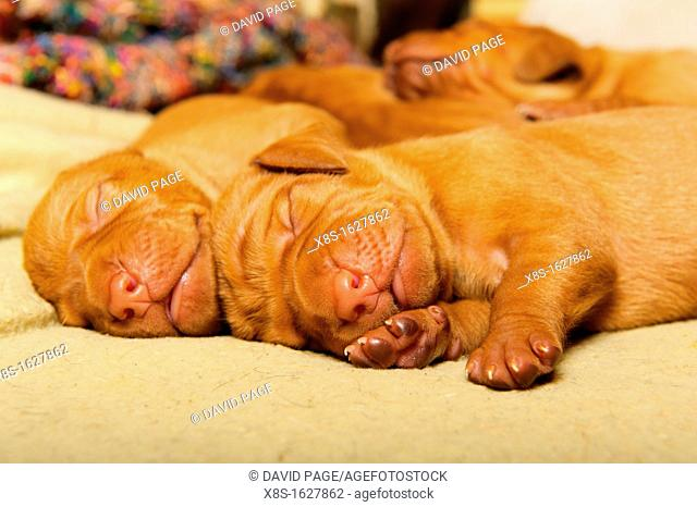 Stock photo of Hungarian Vizsla puppies