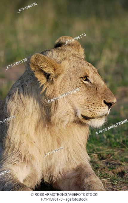 Lion Panthera leo resting  Maasai Mara National Park, Kenya, East Africa