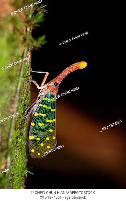 Lantern bug Pyrops canderlaria gunung gading national park, lundu, sarawak, Malaysia, Borneo