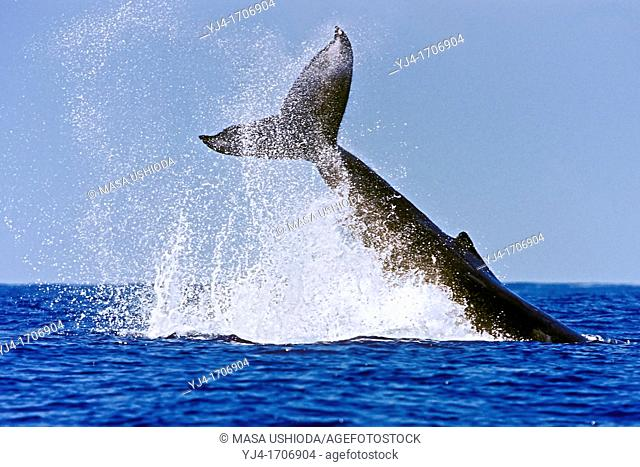 humpback whale, Megaptera novaeangliae, throwing caudal peduncle, peduncle throw or tail breach, Hawaii, USA, Pacific Ocean