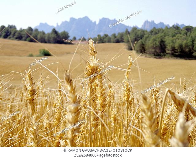 Wheat on June, Bages, Catalonia, Spain