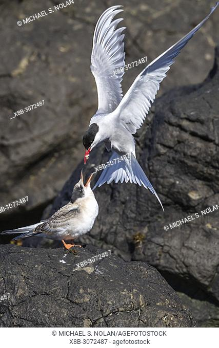 Adult Arctic tern, Sterna paradisaea, returning from the sea with fish for its chick on Flatey Island, Iceland