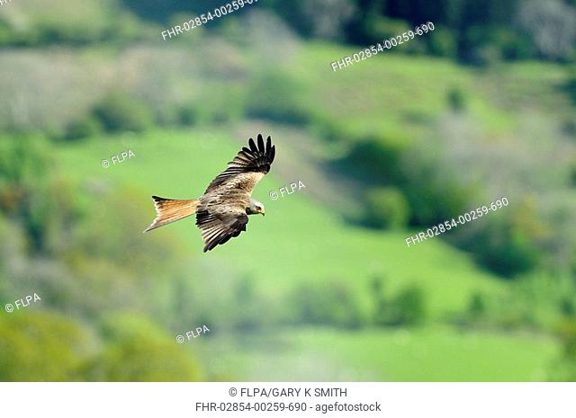 Red Kite Milvus milvus adult, in flight over farmland, Mid Wales, may