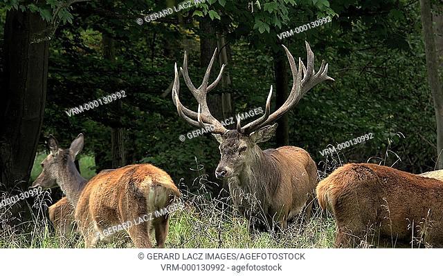 Red Deer, cervus elaphus, Stag in the Middle of the Group, Sweden, Real Time