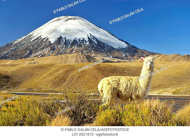 Alpaca at the foot of the Parinacota volcano near Chungara lake, Chile