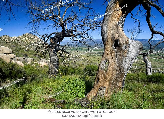 Bigs hom oaks burned by a forest fire in 2004  Cerro del Berrueco, archaeological site in Salamanca province, next to a small town called El Tejado