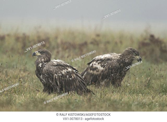 White-tailed Eagles / Sea Eagles ( Haliaeetus albicilla ), two young, immature, adolescent, sitting on the ground, resting, early morning mood, Europe