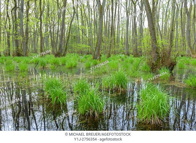 Black Alders (Alnus glutinosa) in Wetland, Hesse, Germany, Europe